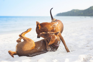 Two brown dogs playing on the sandy beach