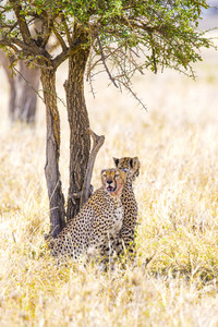 Two cheetahs rests under tree after meal in Serengeti