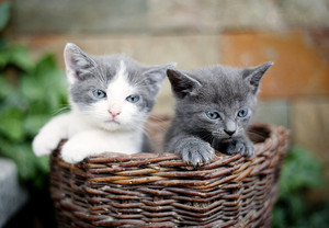 Two cute kittens are looking out of wooden basket.