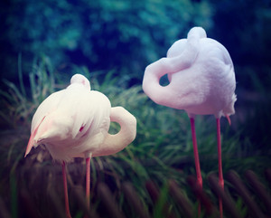 Two pink flamingos standing together with deep green background