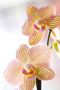 Two yellow orchids with red veins