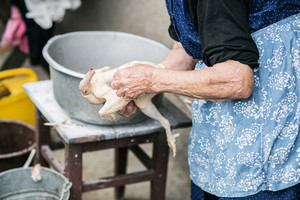 Unrecognizable senior woman cleaning and washing freshly slaughtered chicken outside in front of her house. Close up.
