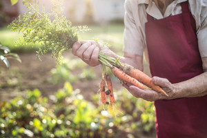 Unrecognizable senior woman in her garden harvesting carrots. Close up.