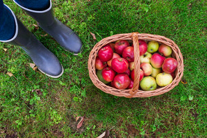 Unrecognizable young woman in rubber boots with basket full of apples