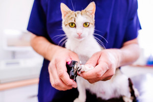 Veterinarian cutting toenails to cute little kitten in veterinary clinic. Unrecognizable woman working.