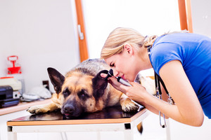 Veterinarian examining German Shepherd dog with sore ear. Young blond woman working at Veterinary clinic.
