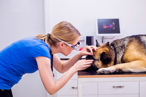 Veterinarian examining German Shepherd dog with sore eye. Young blond woman working at Veterinary clinic.