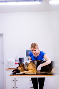 Veterinarian examining German Shepherd dog with sore stomach. Young blond woman working at Veterinary clinic.