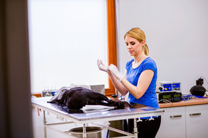 Veterinarian with small black dog under anesthesia ready for an operation, putting on surgical gloves. Unrecognizable woman working at Veterinary clinic.