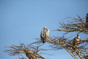 Vulture in a tree Serengeti Tanzania, Africa.