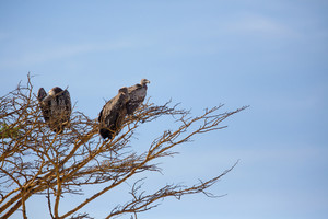 Vulture sitting in a tree Serengeti Tanzania, Africa.