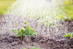 Watering blooming strawberry seedling planted in the ground. Sunny spring. Nature background.