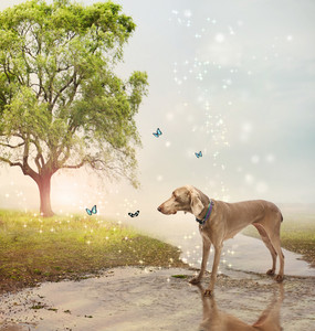 Weimaraner dog and butterflies at a magical brook
