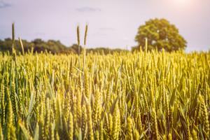 Wheat field in sunlioght and old oak tree in background