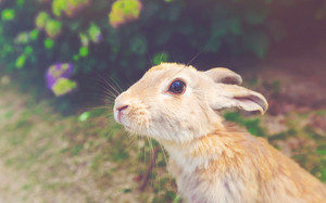 Wild rabbit in a summer field