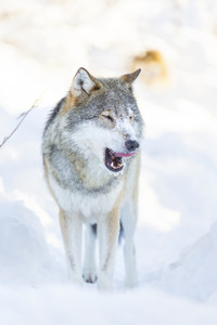Wolf cleaning and licking around mouth in beautiful winter forest