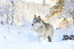 Wolf stands in beautiful and snowy winter landscape