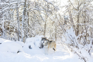 Wolf stands in the cold and beautiful winter forest