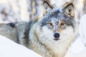 Wolf walking in beautiful winter forest