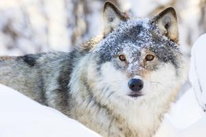 Wolf walking in beautiful winter forest