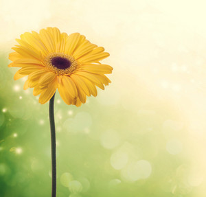 Yellow gerbera on beautiful green colored background
