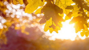 Yellow oak tree leaves in warm sun light. Backlit flares through the foliage.