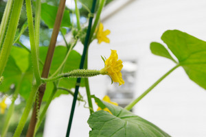 Young cucumber with flowers in a garden by a house