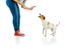 Young woman training cute parson russell terrier dog isolated on white background