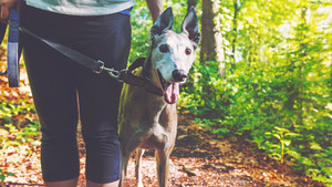 Young woman with her greyhound on a forest trail