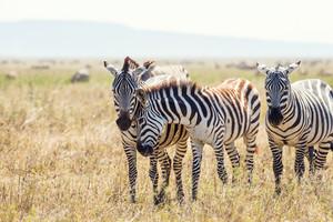 Zebra in the Serengeti National park, Tanzania, Africa.