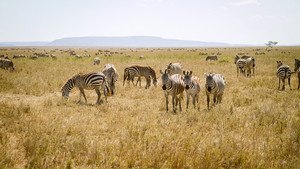 Zebra in the Serengeti National park, Tanzania, Africa.