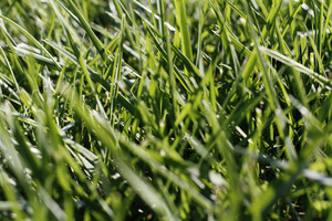 Grass And Wheat 12 Texture