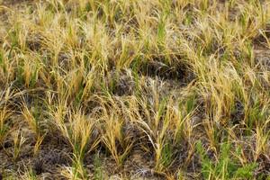 Grass Texture 7