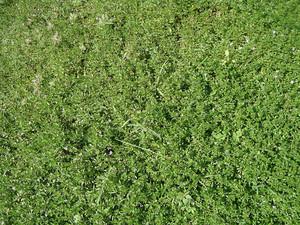 Grass_background