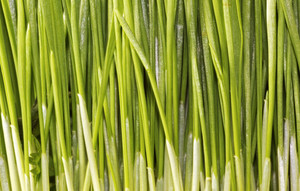 Grasses Background
