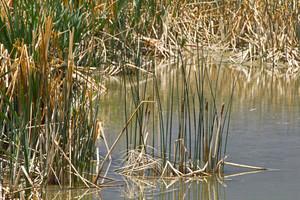 Grasses On Pond
