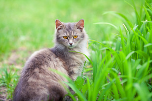 Gray siberian cat in the grass outdoor