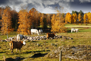 grazing cattle in rural landscape