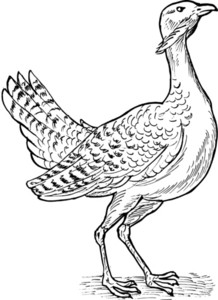 Great Bustard Bird Drawing