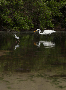 Great Egret And Black-necked Stilt