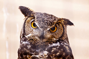 Great Horned Owl 171
