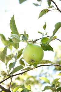 Green Apple On Tree