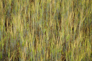 green barley field background