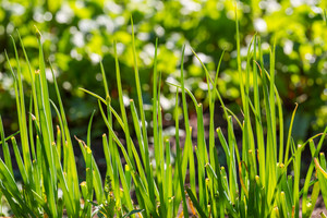 Green chive growing in ecologic garden. Close up of edible plants.