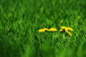 Green Field And Dandelions With Unusual Depth Of Field And Plenty Of Space For Design Elements