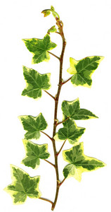 Green Ivy Leaves On White Background