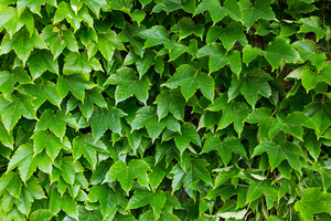 Green leaf of maple wall texture and background