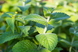 Green mint leaves growing in garden. Herb close up