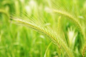 Green Wheat On A Grain Field