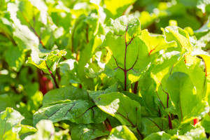 Green young leaves of beetroot growing in garden. Beet leaves in close up